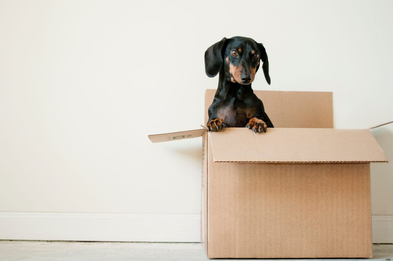 dachshund-in-cardboard-box